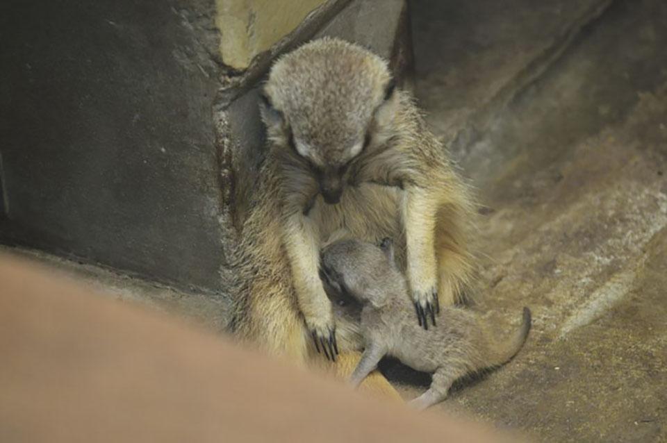 Bebé suricato y su madre