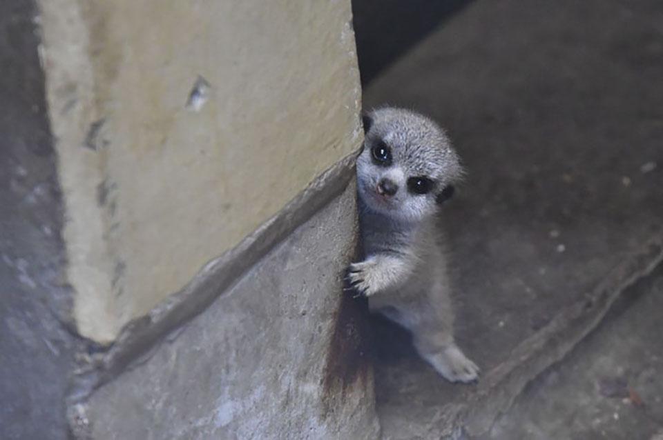 Hermoso suricato pequeña